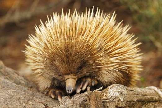 mammals_echidna-1030x685