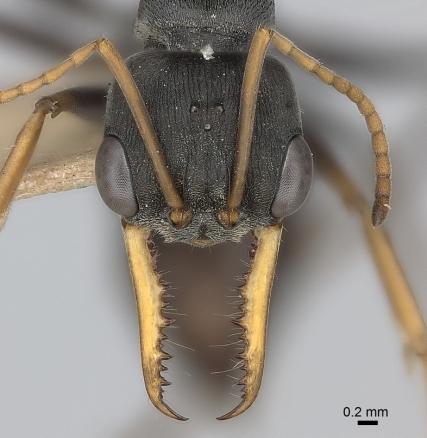 Myrmecia_pilosula_specimen_mandibles